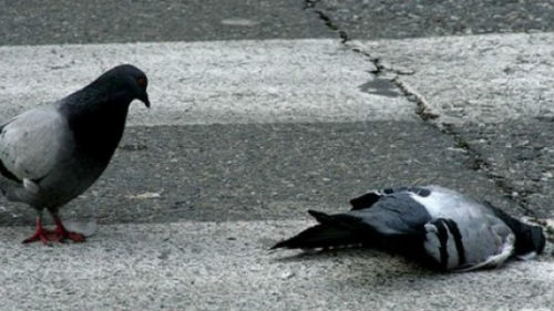 мертвый голубь в крови