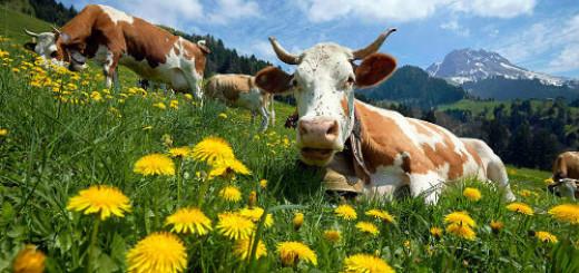 видеть много коров во сне