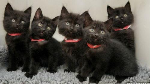 много черных котят