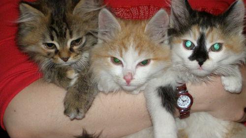 к чему снятся котята маленькие много женщине