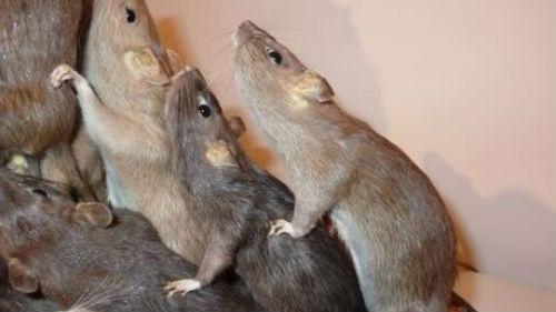много крыс кусают