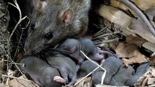 Что означает когда снится много крыс