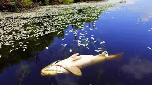 большая мертвая рыба