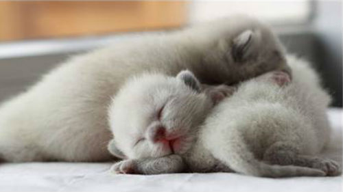 Котята к беременности снятся