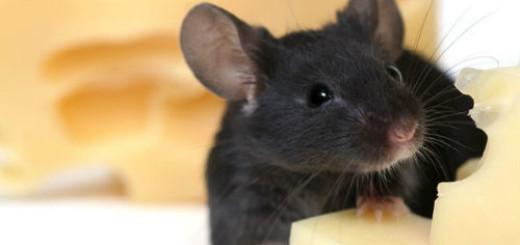 мыши в доме во сне