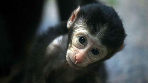 маленькая обезьянка
