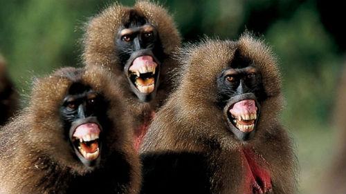 нападающие обезьяны