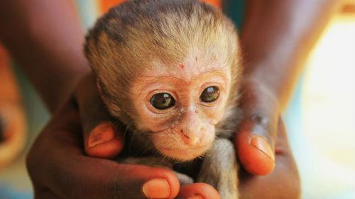 обезьяна на руках во сне