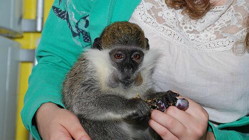 к чему снится обезьяна на руках женщине