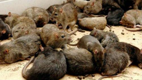 к чему снятся мыши крысы