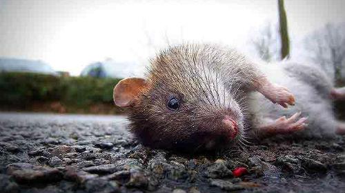 убитые крысы