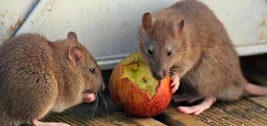 мыши крысы во сне