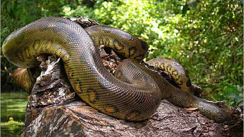 к чему снится огромная змея