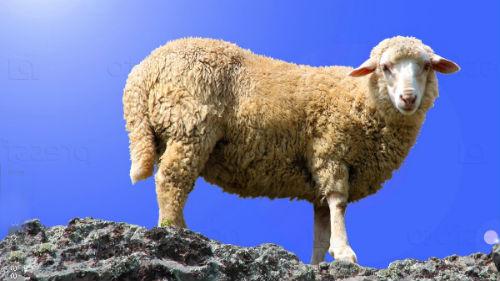овца во сне