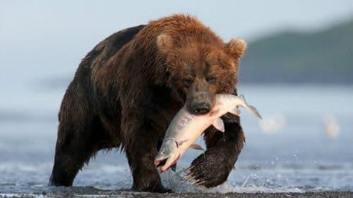 косолапый ловит рыбу