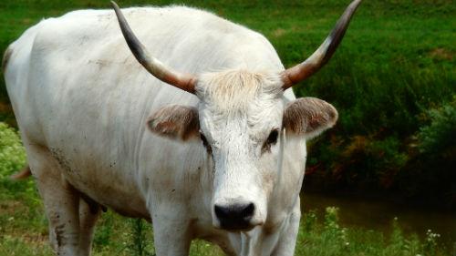 большой белый бык