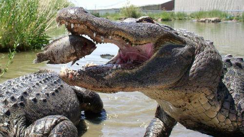 аллигатор который нападает