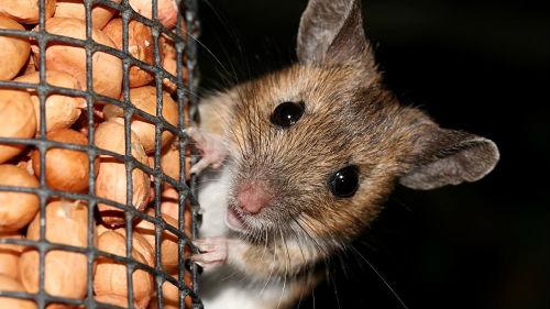 К чему сниться убить во сне мышь