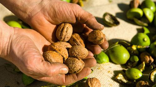 собирать грецкие орехи с земли
