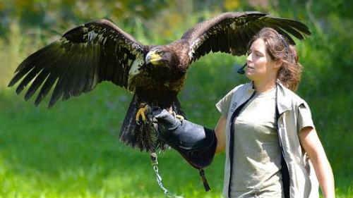 коршун или орел сидящий на руке