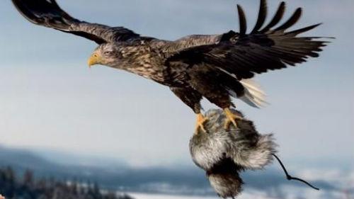 ястреб летящий с добычей