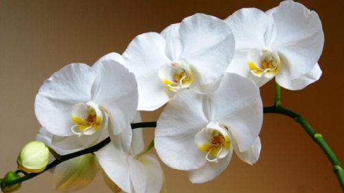 к чему снится орхидея белая