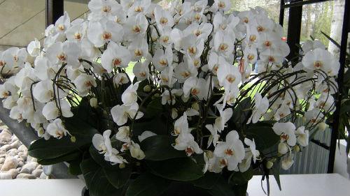 орхидеи цветущие в горшке