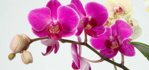 орхидея розовая во сне