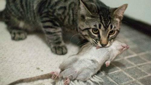 кошка убивает крысу