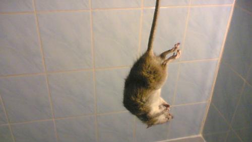 к чему снится убить крысу руками