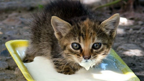 кормить котят молоком