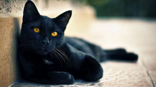 Черный кот кошка сонник