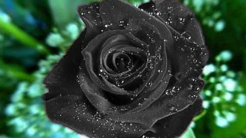 К чему снятся чёрные розы