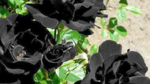 уколоться шипом розы