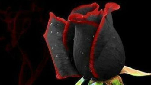 картинка роза черная