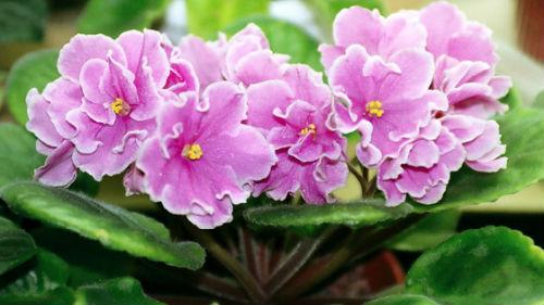 комнатные цветочки