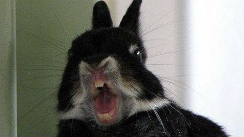 большой кролик кусает