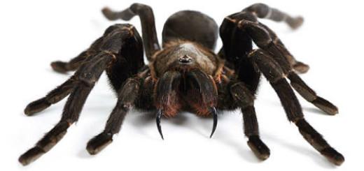 черный паук во сне