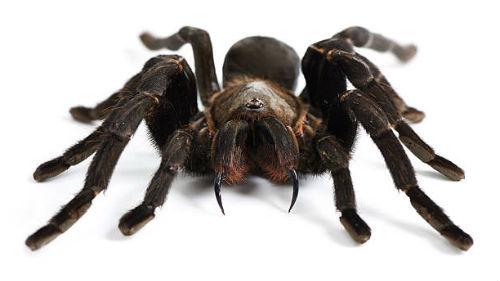 черный мохнатый паук во сне