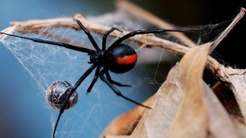 черная вдова и паутина