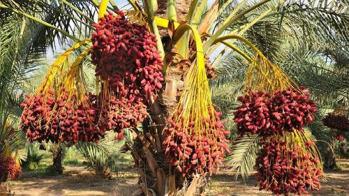 спелые пплоды