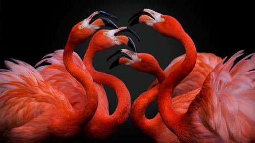 к чему снятся фламинго девушке