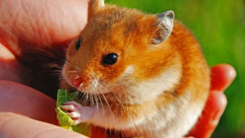 К чему снятся хомяки и мыши