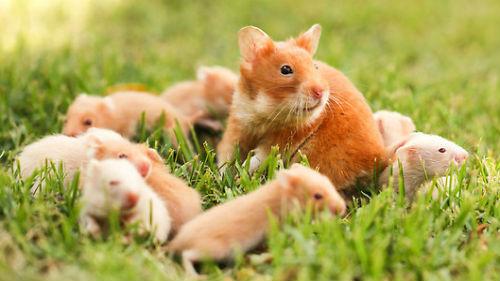 грызуны хомяки мыши