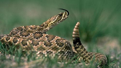 к чему снится хвост гремучей змеи