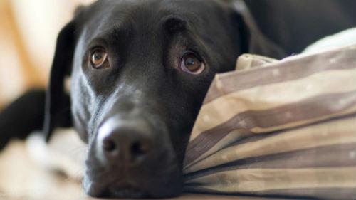 умершая собака живая во сне