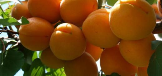 абрикосы на дереве во сне
