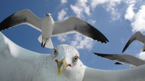 чайки нападают