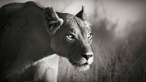приснилась черная львица