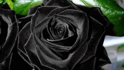 К чему снится черная роза